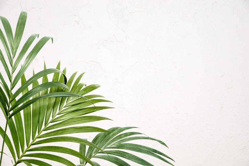 How to Grow Kentia Palms Indoors at Home