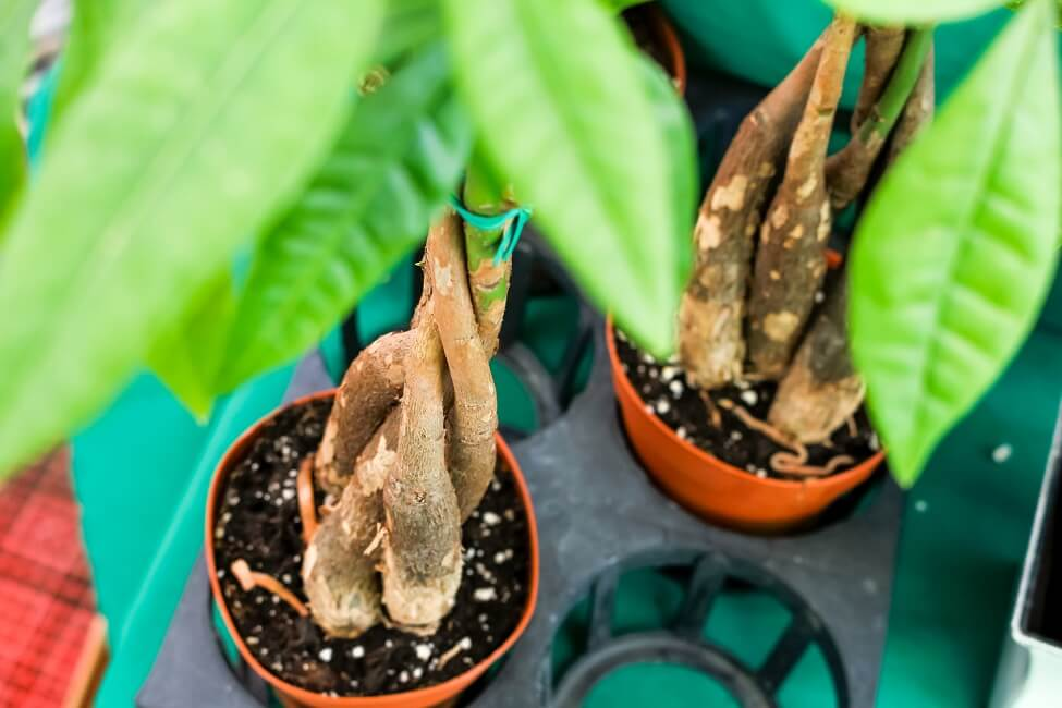 How to Grow Money Tree Plants
