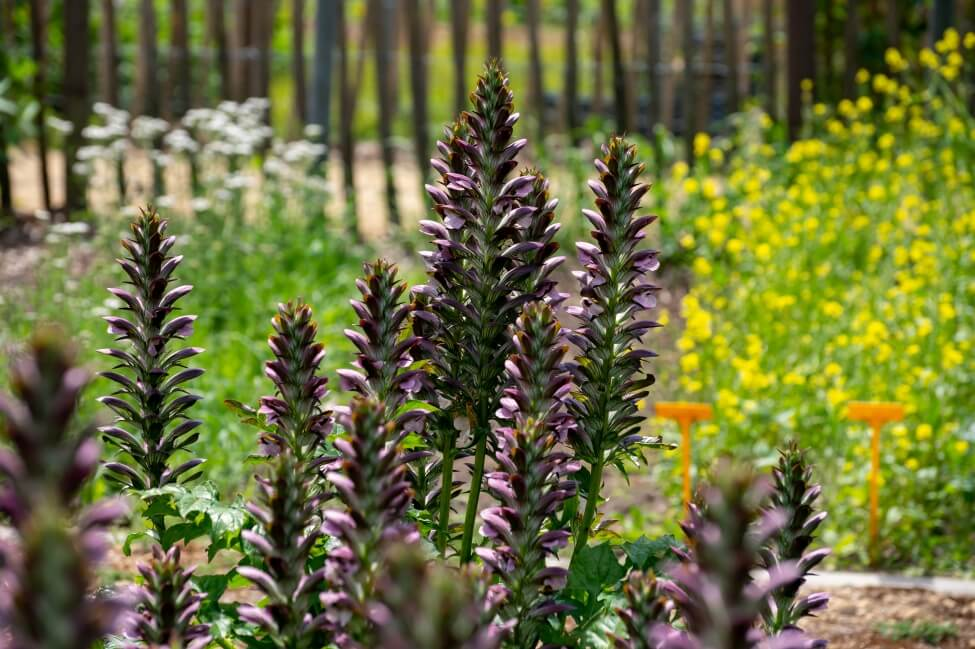 How to Grow and Care for Acanthus Flowers at Home