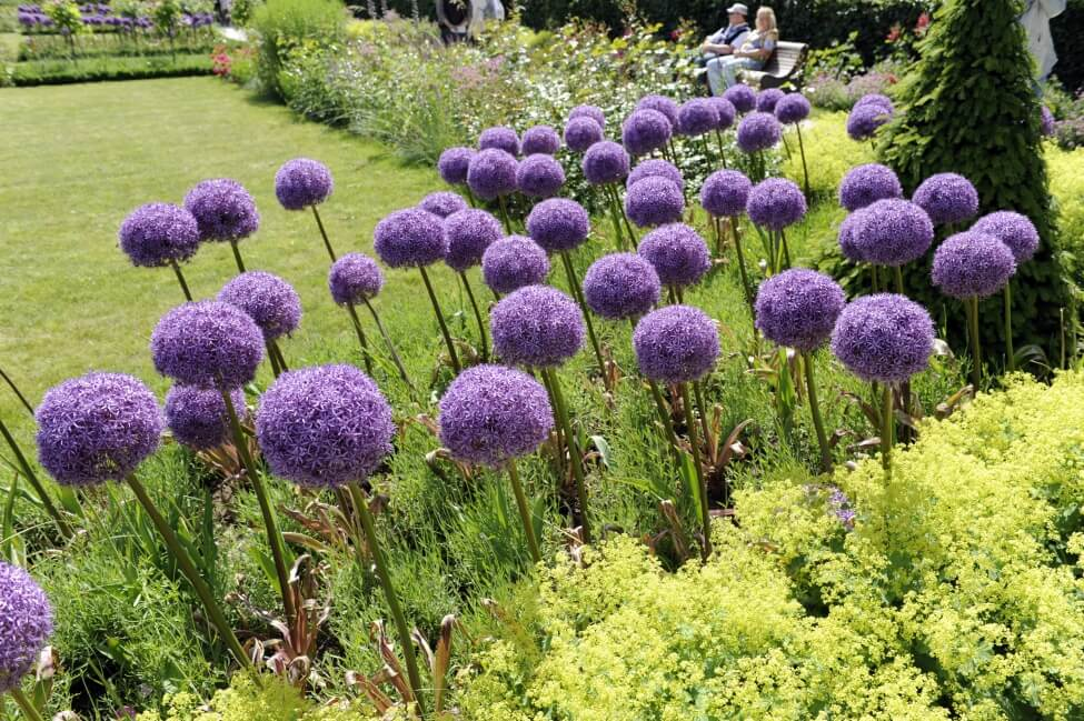 How to Grow and Care for Allium Flowers at Home