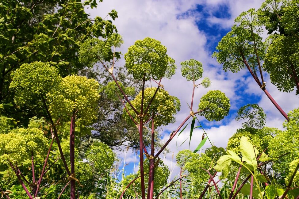 How to Grow and Care for Angelica Flowers at Home