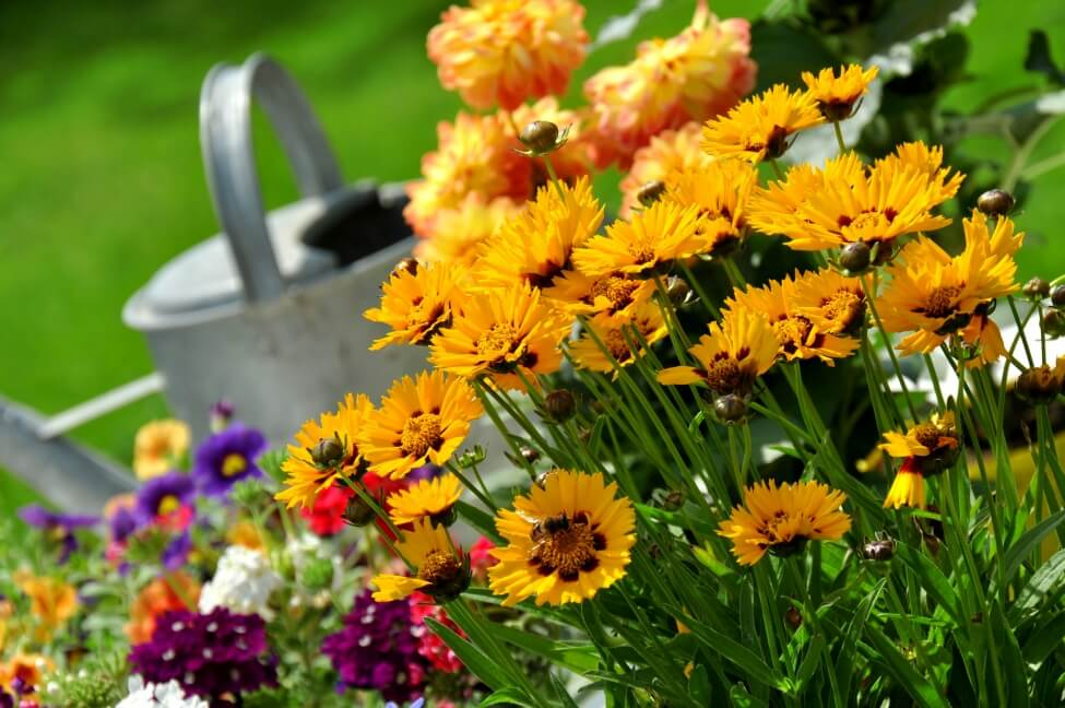 How to Grow and Care for Coreopsis Flowers at Home