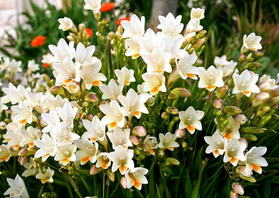 How to Grow and Care for Freesia Flowers