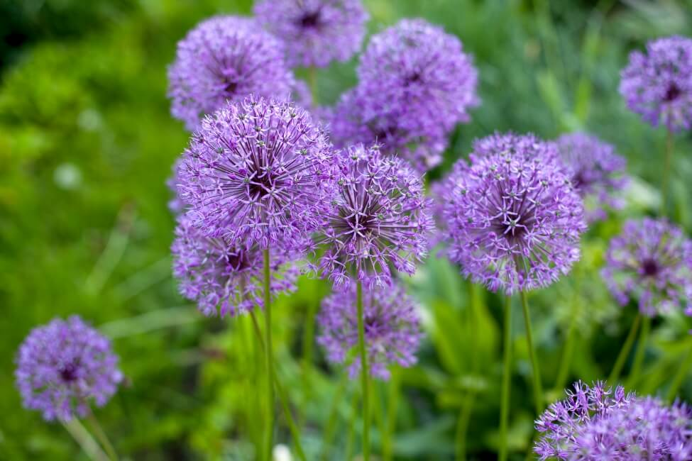 Lavender Allium Flower Meaning