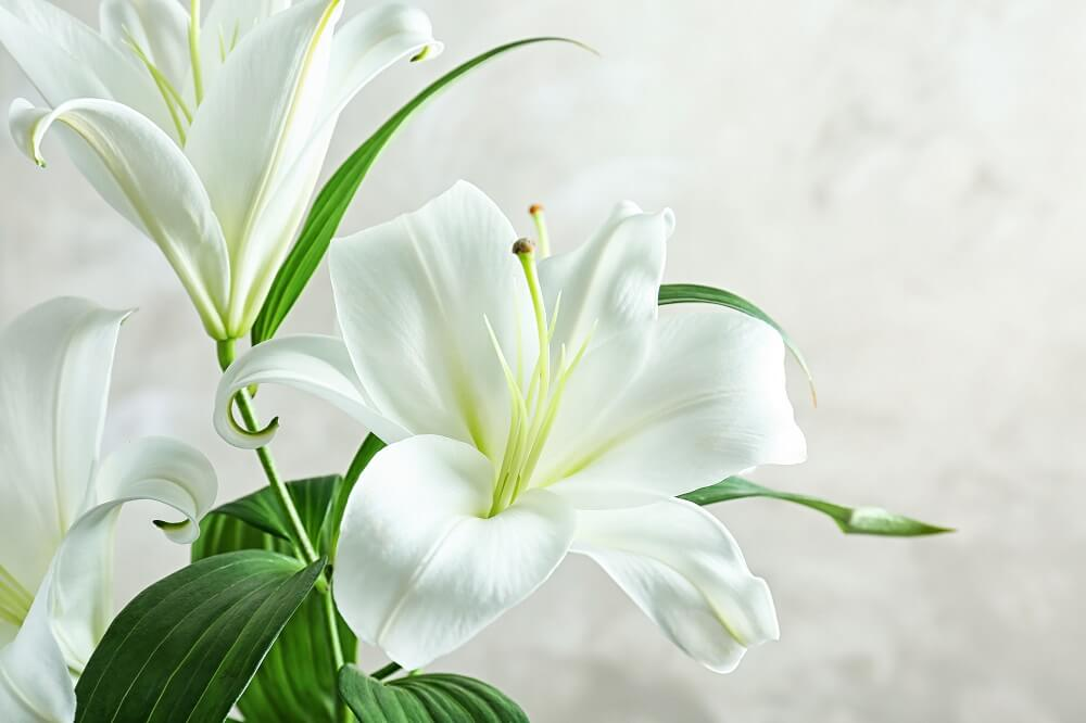 Lilies for International Women's Day