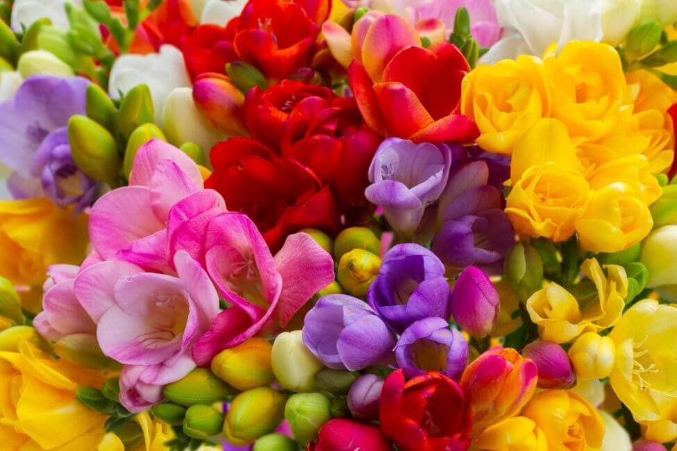 Multi-Color Freesia Flower Meaning