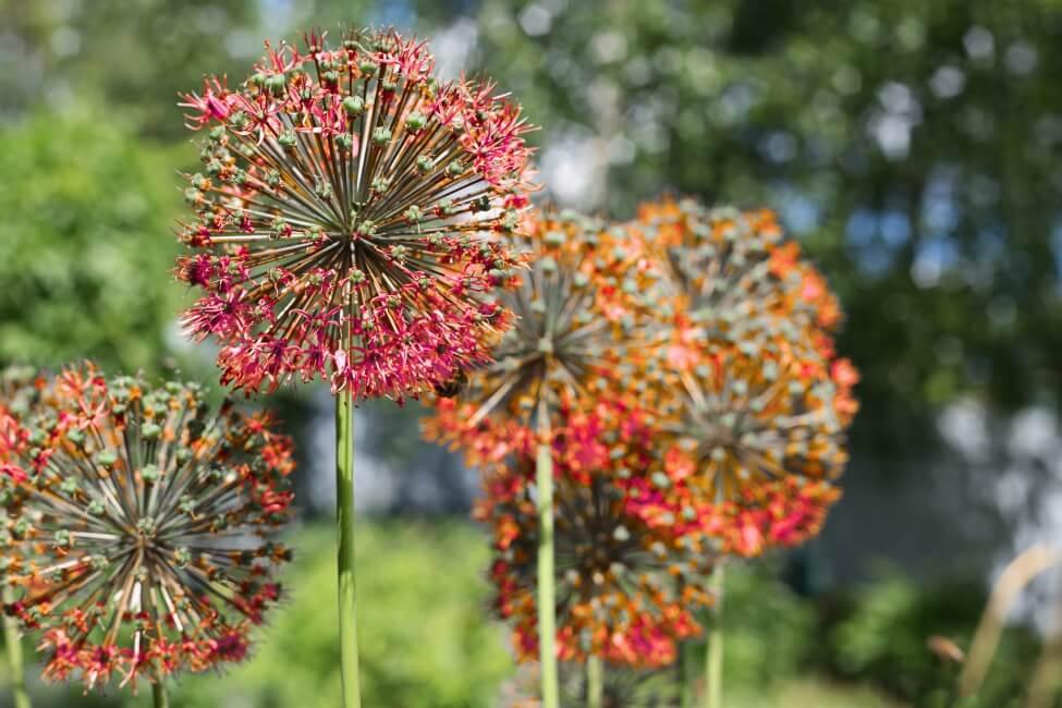 Orange Allium Flower Meaning