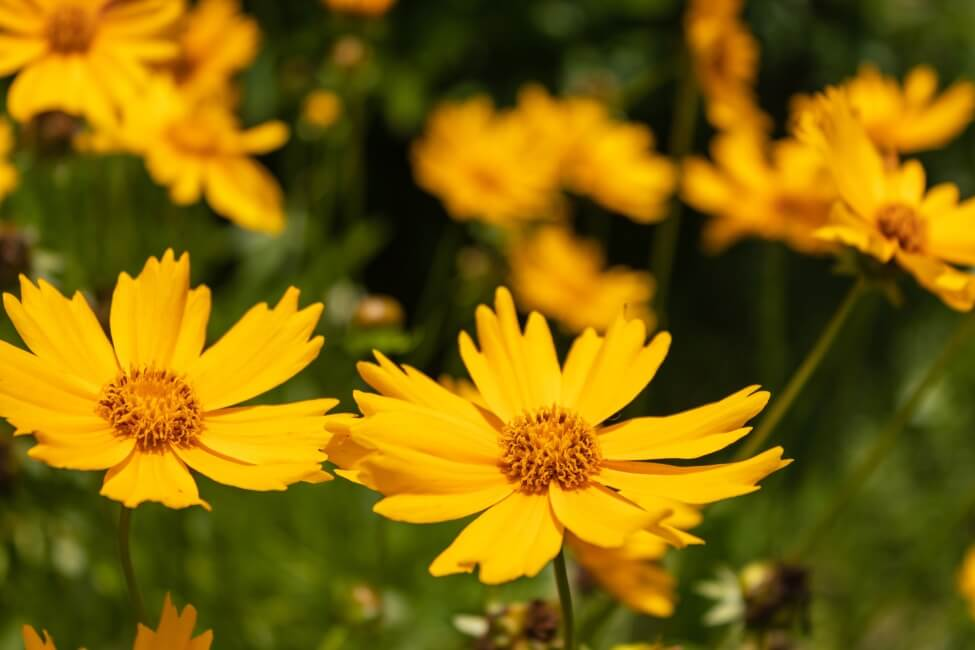 Other Coreopsis species include