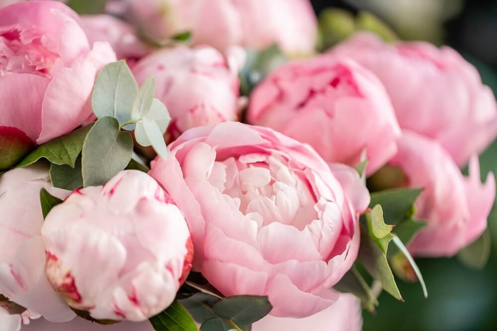 Peonies for International Women's Day