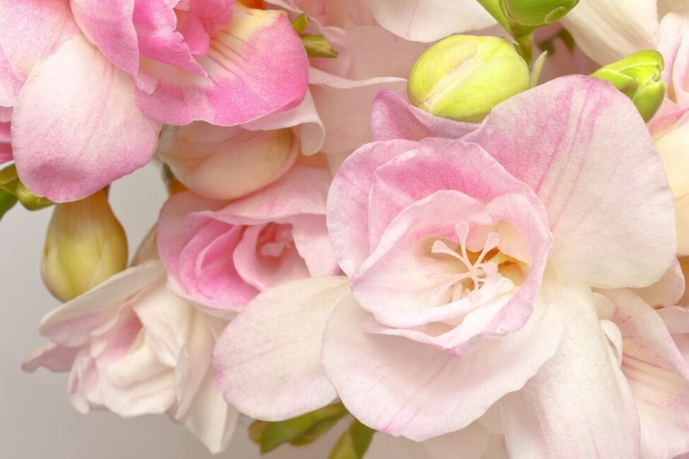 Pink Freesia Flower Meaning