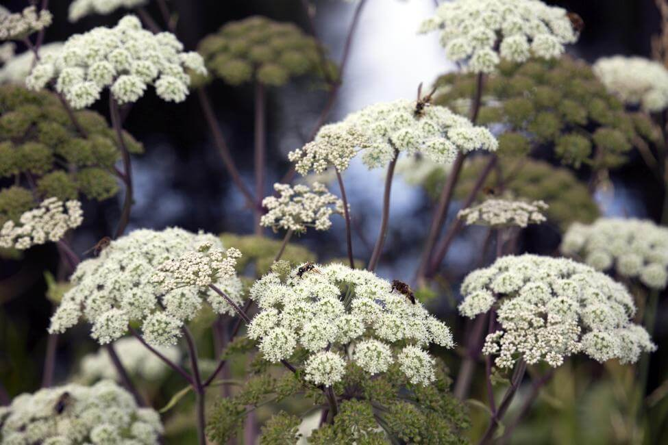 Popular Angelica Flower Types, Species, and Cultivars