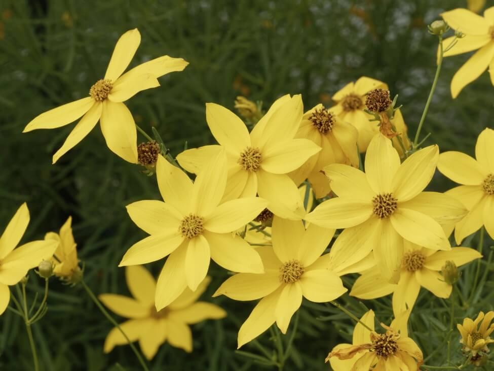 Popular C. verticillata varieties include