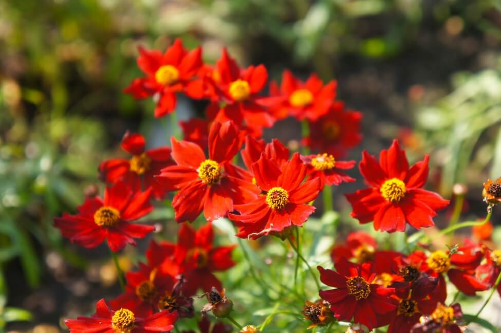Popular Coreopsis Flower Types, Species, and Cultivars