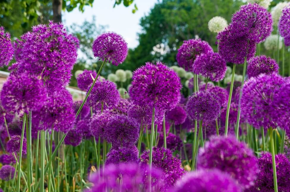 Purple Allium Flower Meaning