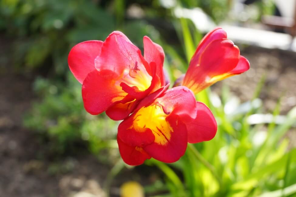 Red Freesia Flower Meaning
