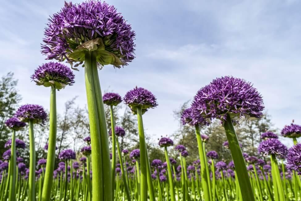 The Allium Universe