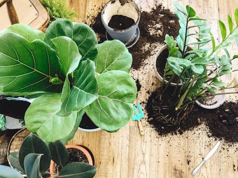 The Best Soil Types for Fiddle Leaf Fig Trees (Essential Tips)