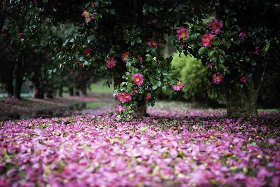 The Cultural Significane of camellia flowers in Japan