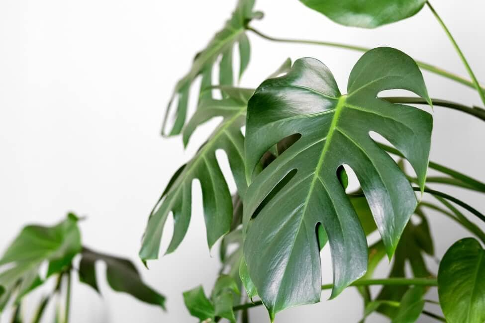The Importance of Well-Draining Potting Soil for Monstera Plants