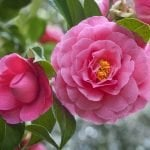 The Ultimate Guide to Camellia Flower Meaning and Symbolism