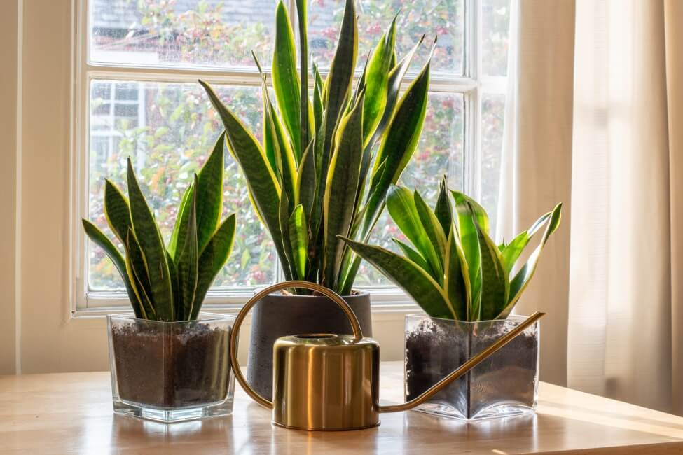 Things to Consider When Watering Snake Plants
