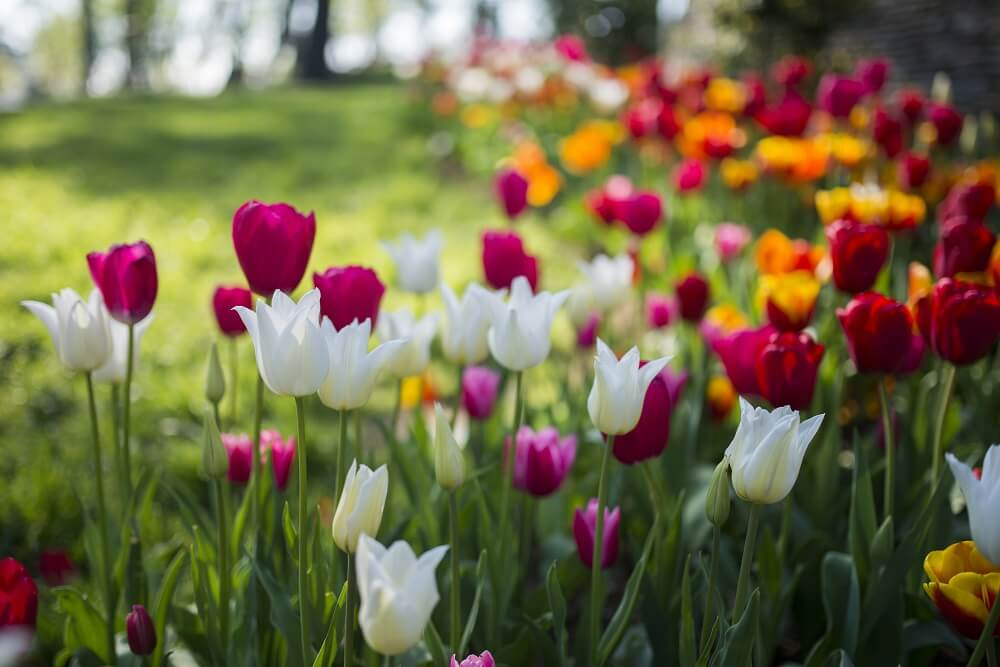 Tulips for International Women's Day