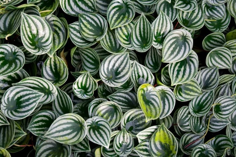 Ultimate Guide to Watermelon Peperomia Care (Peperomia argyreia)