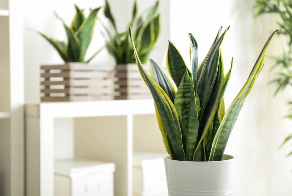 What Type of Water is Best for Snake Plants