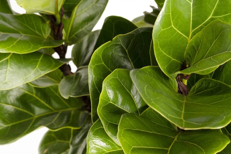 When to Water Fiddle Leaf Figs