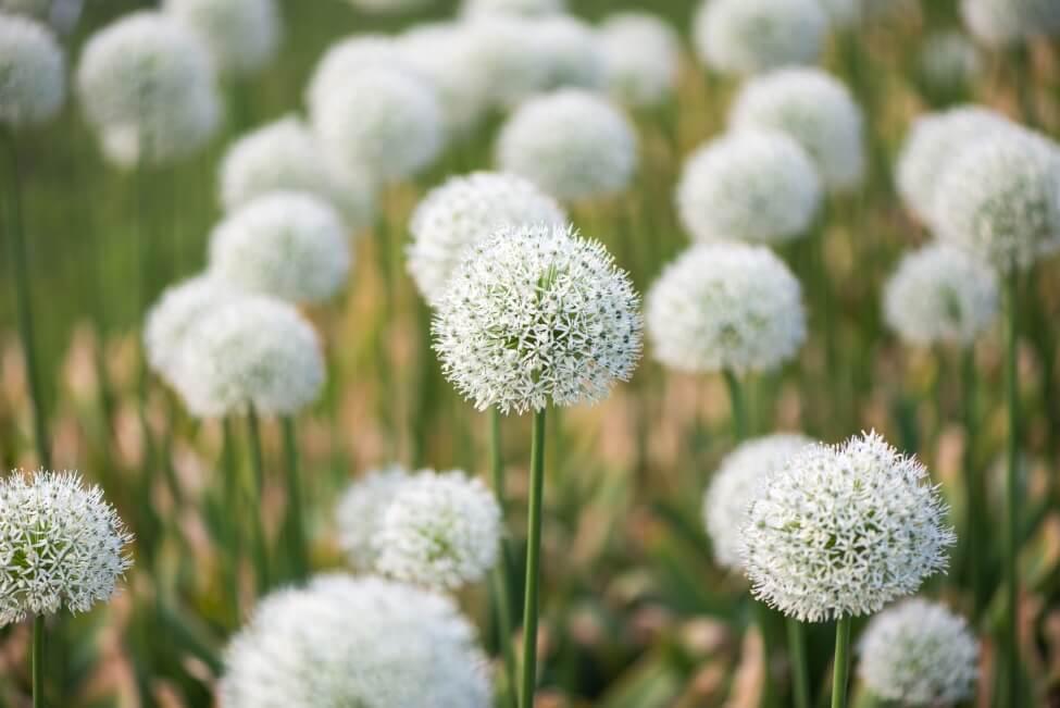 White Allium Flower Meaning