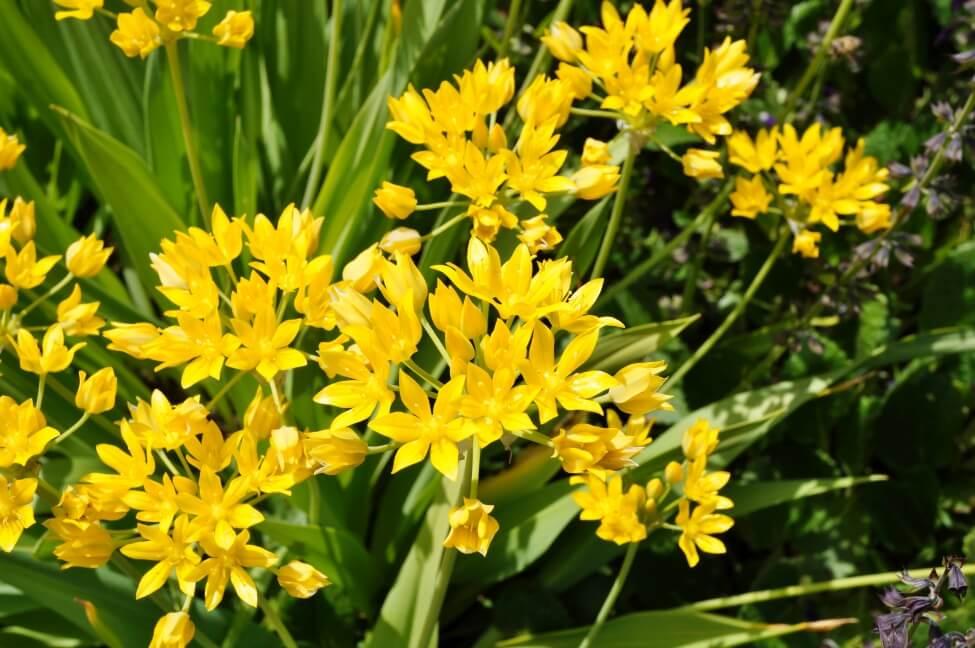 Yellow Allium Flower Meaning