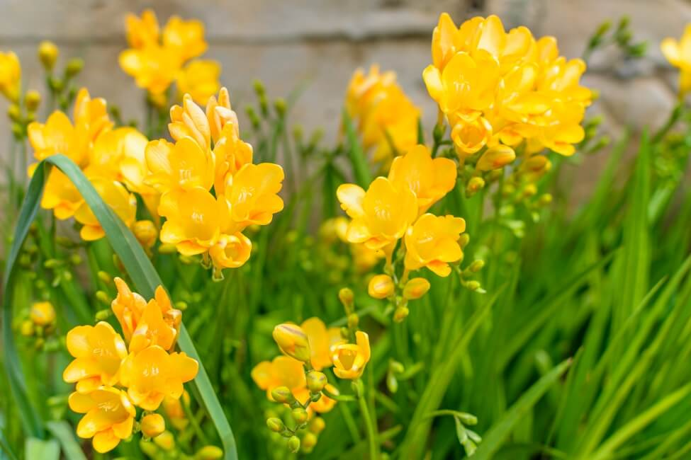 Yellow Freesia Flower Meaning