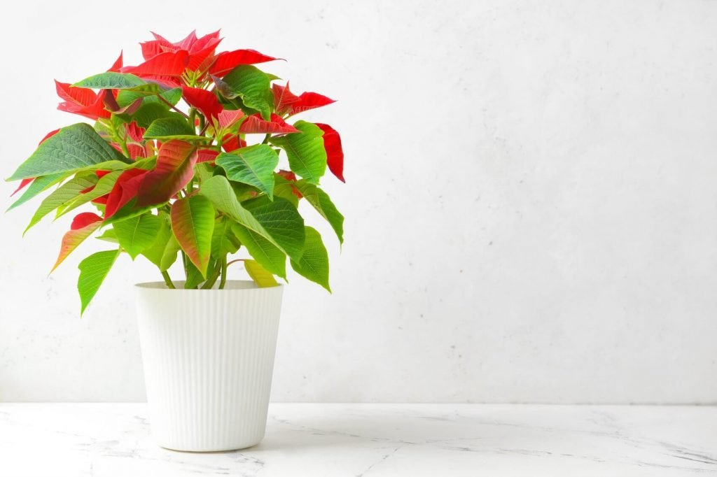 20 Best Red Houseplants (Types and Growing Tips)