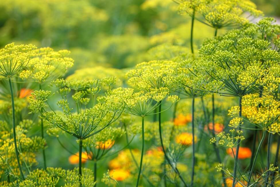 About Dill Flowers