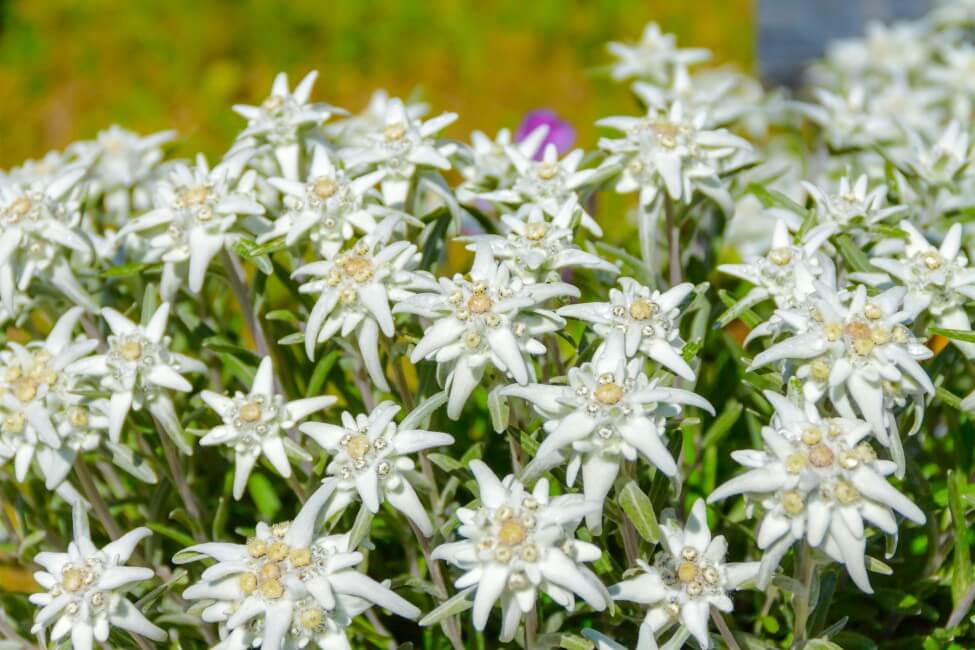 About Edelweiss Flowers