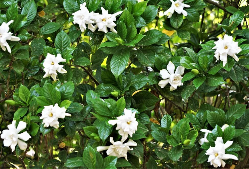 About Gardenia Flowers