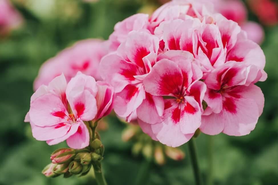 About Geranium Flowers