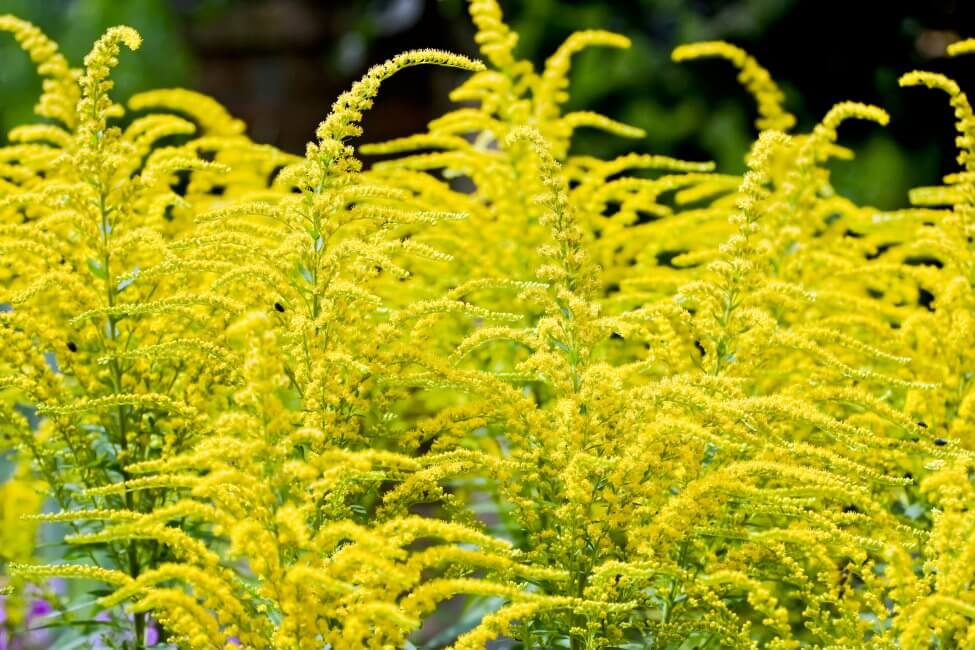About Goldenrod Flowers