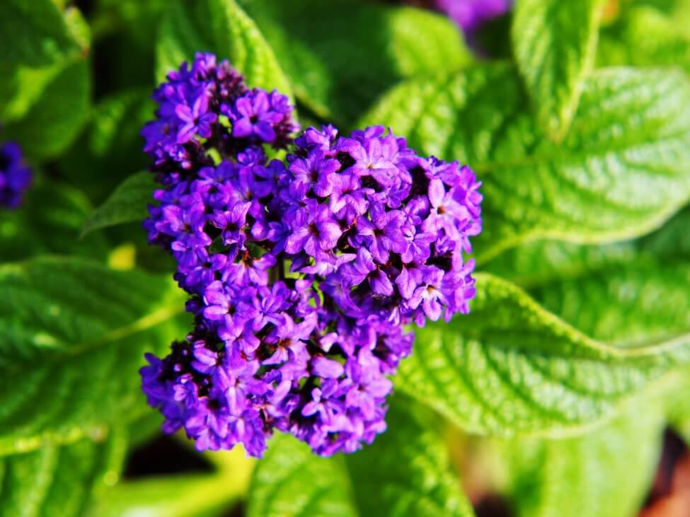 About Heliotrope Flowers