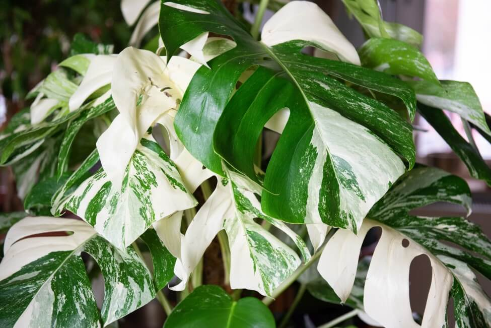 About Variegated Monstera