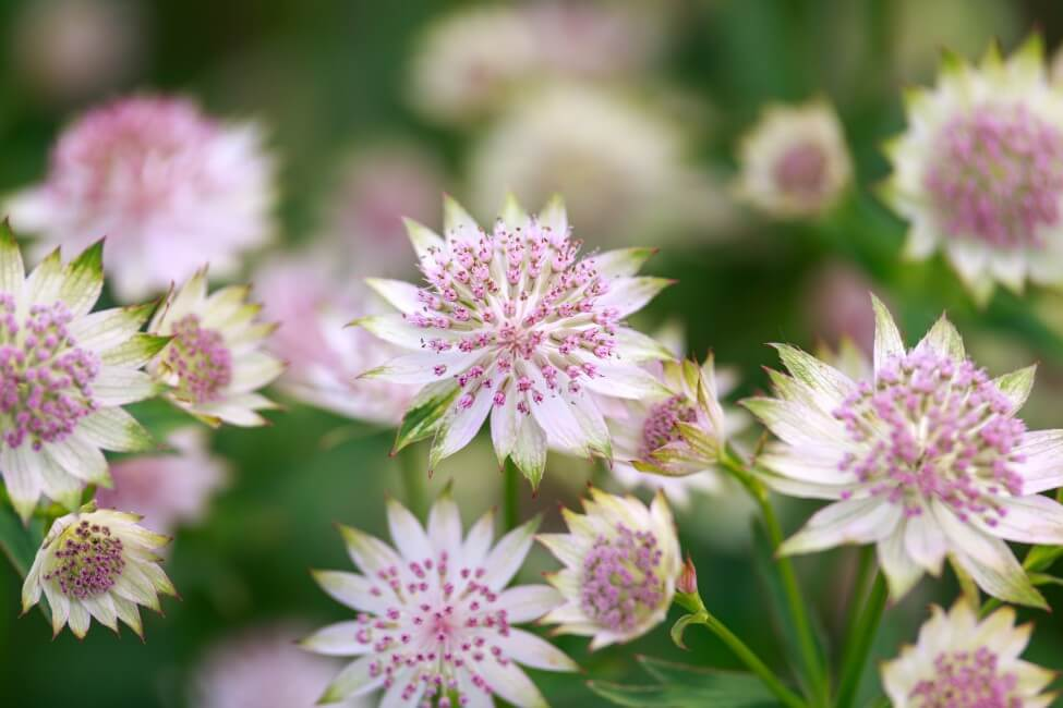 About the Astrantia Flower