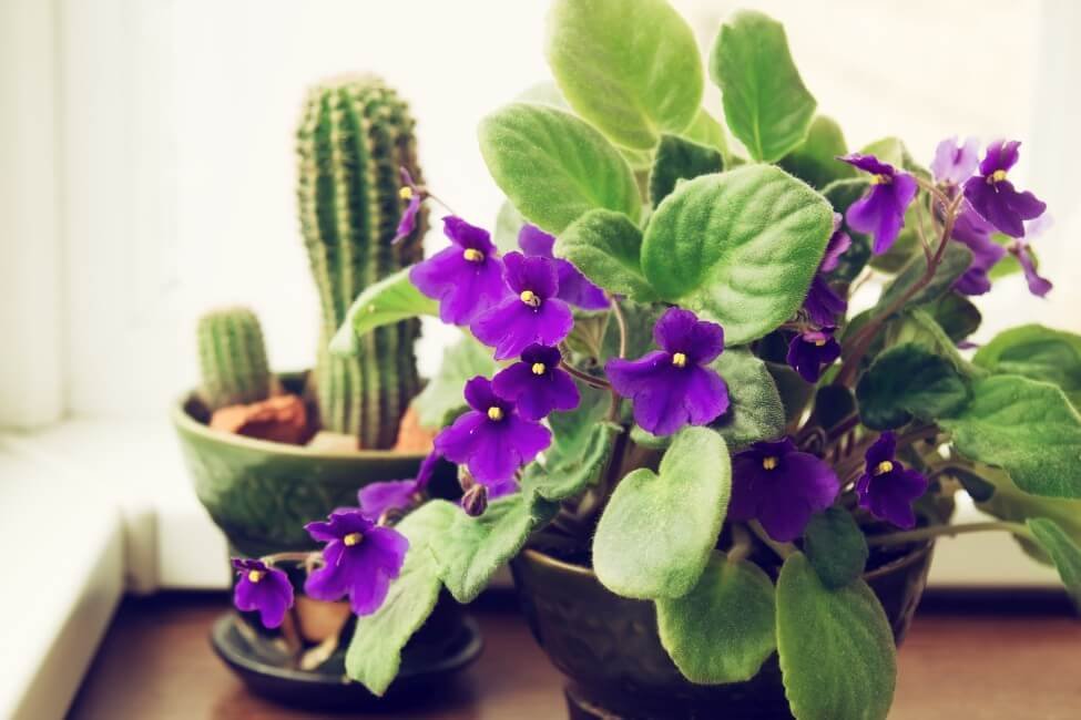 African Violet (Streptocarpus sect. Saintpaulia)