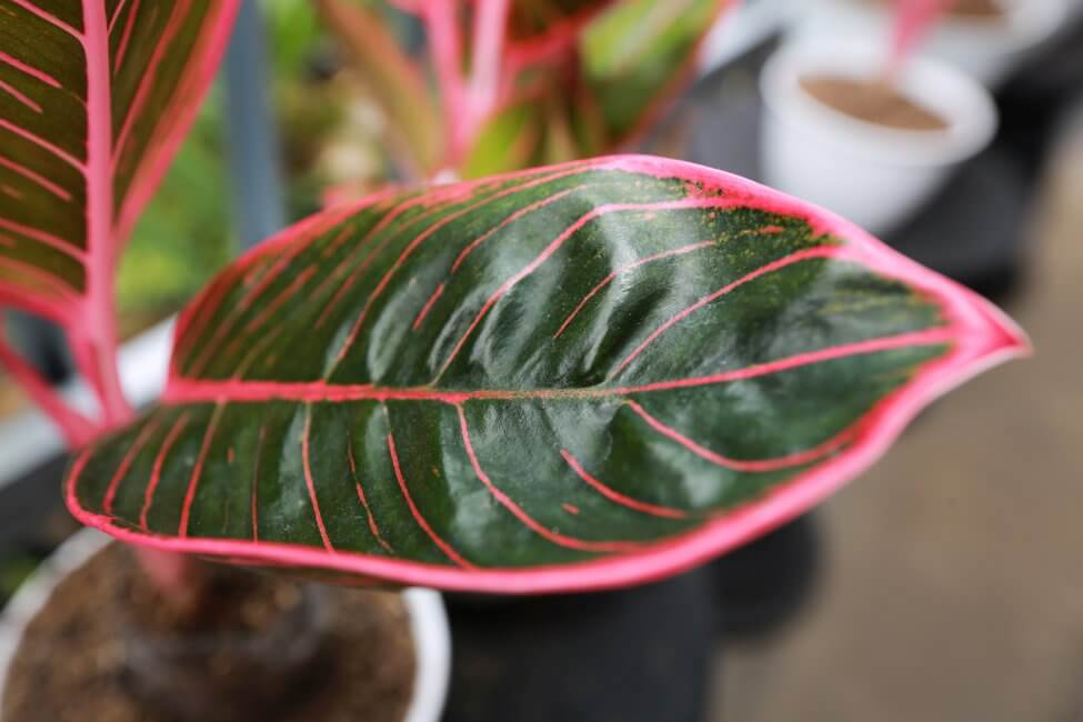 Aglaonema (Atglaonema genus)