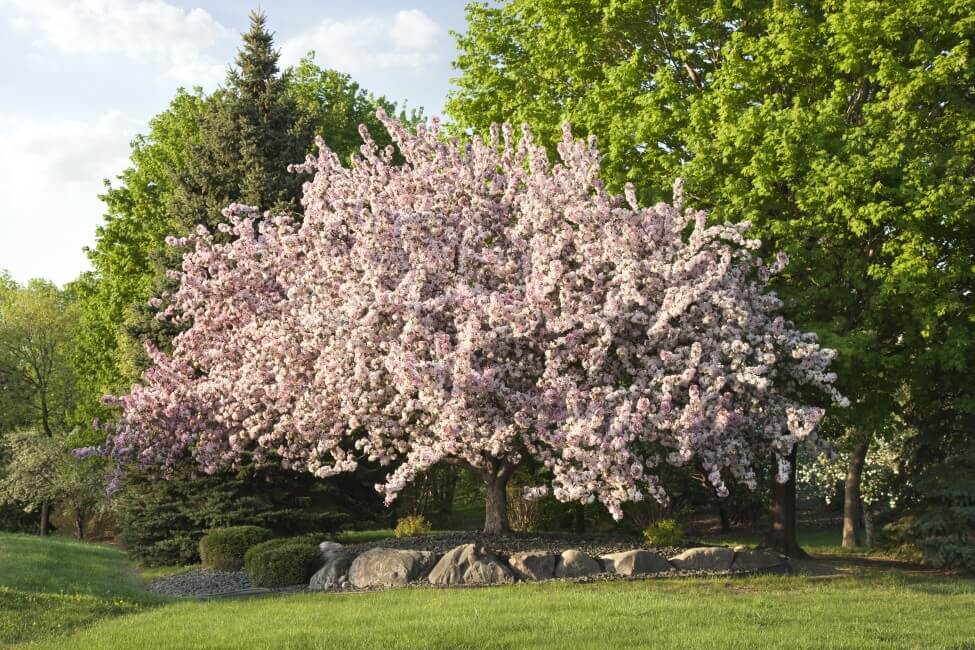 All About Flowering Crabapple Trees