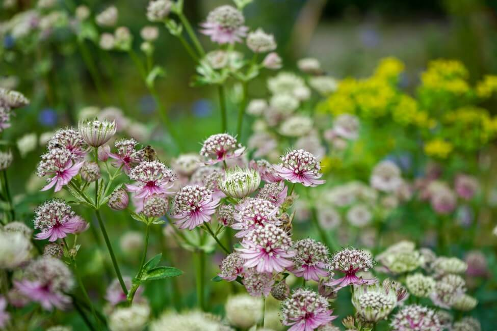 Astrantia Flower Meaning & Symbolism