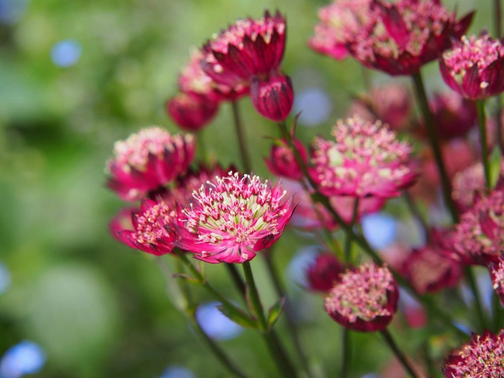 Astrantia Flower Meaning, Types, and Growing Tips