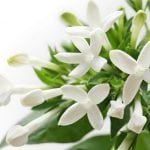 Bouvardia Flower Meaning, Types, and Growing Tips