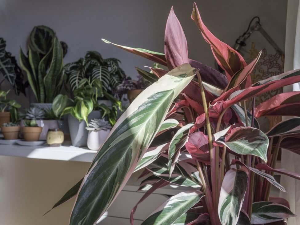 Calathea Triostar (Stromanthe thalia)