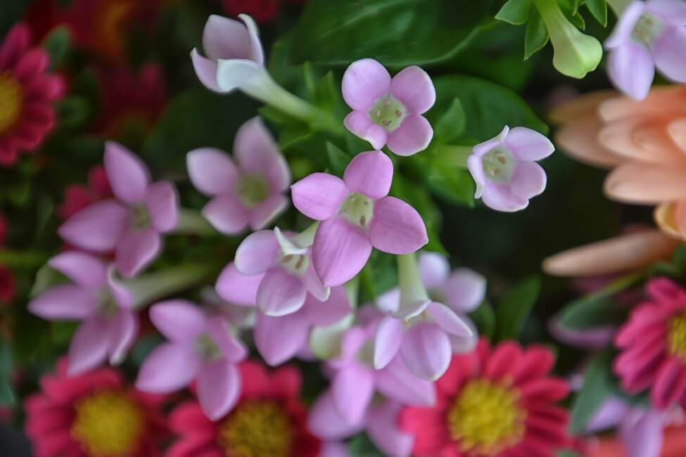 Common Bouvardia Flower Colors and Their Meaning & Symbolism