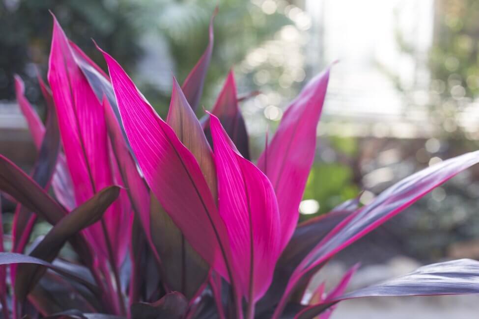 Cordyline 'Pink Passion' (Cordyline australis)